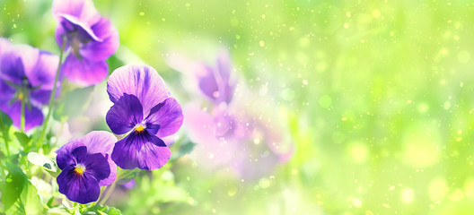 Papiers peints Pansies beautiful floral background. Elegant artistic flowers image. purple Viola flower. spring summer season. template for design. copy space