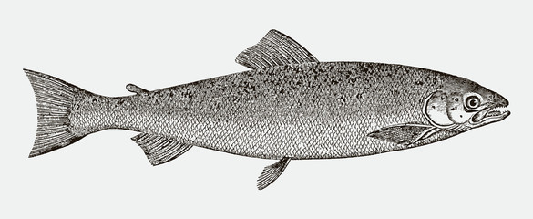 Adult atlantic salmon salmo salar in side view after a historical engraving from the 19th century Fototapete