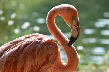 Foto auf Leinwand Flamingo closeup of pink flamingo