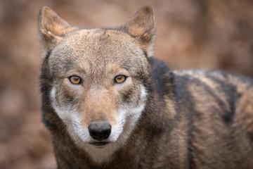 In de dag Wolf Red Wolf