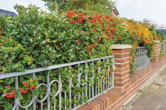 Gartenmauer mit farbenfrohen Beeren an der Buschhecke