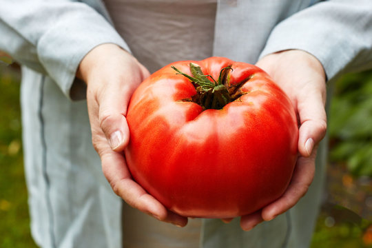 Large ripe beefsteak tomato in hands