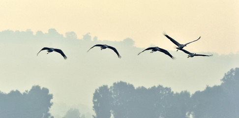 Photo sur cadre textile Oiseau Birds in flight. A silhouettes of cranes in flight. Flock of cranes flies at sunrise. Foggy morning, Sunrise sky background. Common Crane, Grus grus or Grus Communis, big bird in the natural habitat.