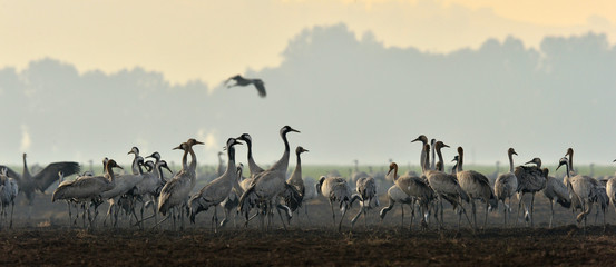 Cranes in a field foraging. Common Crane, Grus grus, big bird in the natural habitat. Feeding of the cranes at sunrise in the national Park Agamon of Hula Valley in Israel.