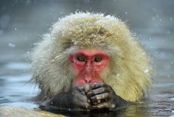 Fotorolgordijn Aap Snow monkey in natural hot spring. The Japanese macaque ( Scientific name: Macaca fuscata), also known as the snow monkey.