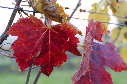 Herbst im Weingarten, Österreich, Burgenland, Nordburgenland