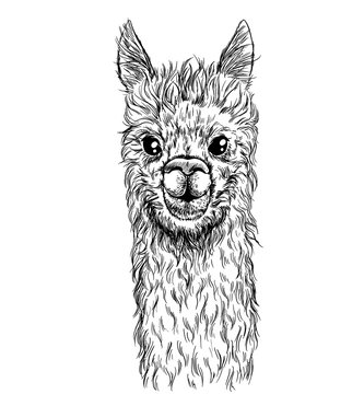 Portrait of alpaca, cute lama, ink sketch