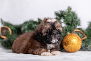 Wall Mural - Shih Tzu puppy on white background with Christmas decorations. Christmas decor.