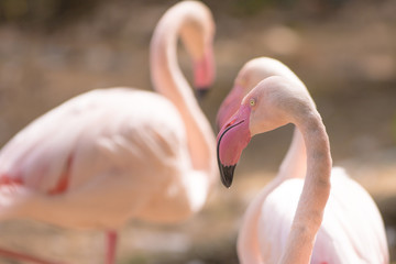 Poster Flamingo flamingo in zoo