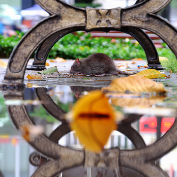 mice looking for food under bench, mouse animal reflect on puddle of water