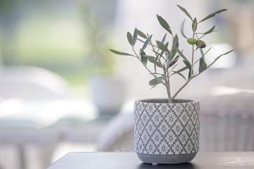 Foto op Aluminium Olijfboom Small olive tree in a pot