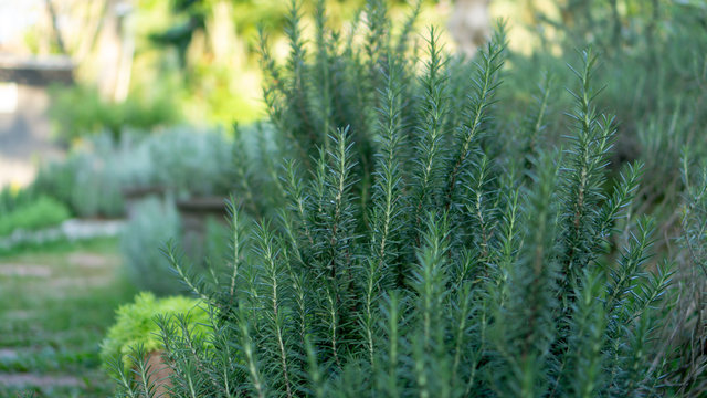 Rosemary fragrant herb is edible woody perennial plant with greenery needle-like leaves in traditional English cottage backyard planting Sensory organic garden