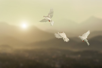 Wall Mural - White pigeons fly to sky in beautiful light sunset on mountain background.freedom concept and international day of peace