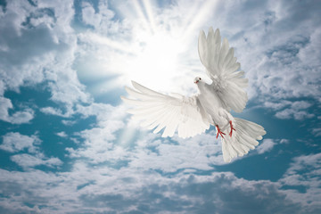 Wall Mural - white dove flying on sky in beautiful light for freedom concept