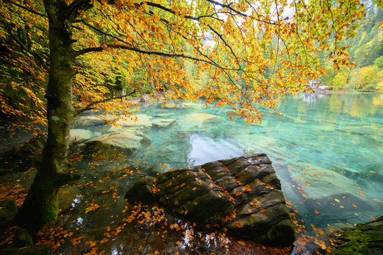 Scenery autumn view of Blue Lake (Blausee ) in rainy day with golden leaves on trees. Natural park in Kandersteg, Switzerland