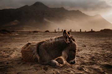 Foto auf Leinwand Esel Schlafender Esel am Playa de Cofete
