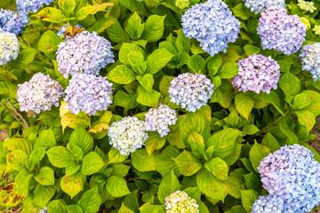Fond de hotte en verre imprimé Hortensia close up photo of hydrangea flowers
