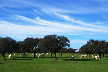 cows grazing in alentejo field, south of Portugal