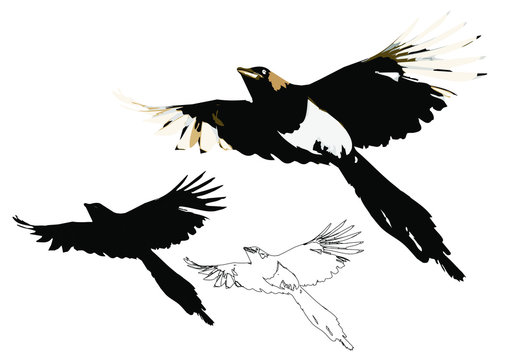 Flying crow. Vector image. Magpie. White background.