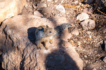 Western gray squirrel on a rock at the Grand Canyon trail - World Wonder