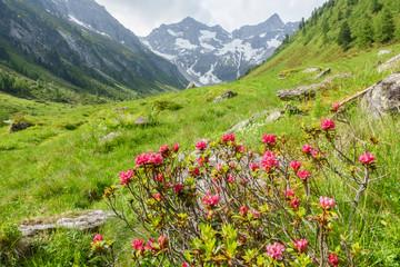 Fototapete - Naturlandschaft mit Alpenrosen im Zillertal in Tirol