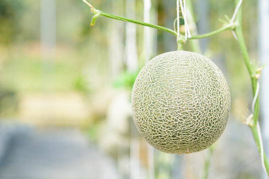 Melon fruit plant growing in greenhouse farm, Thailand