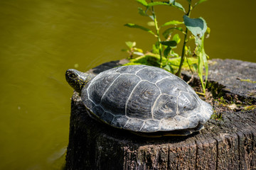 European pond turtle (Emys orbicularis) basking in the sun on a pond