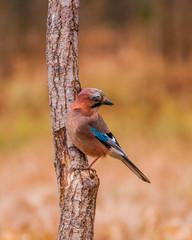 Fototapeta Sójka na pniu drzewa  obraz