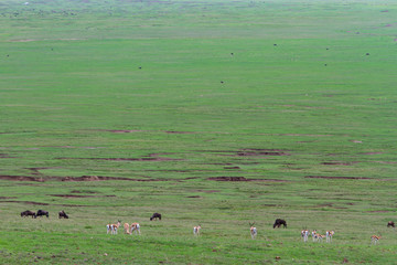 Impalas und Gnus im Ngorongoro-Krater, Tansania
