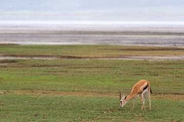 Gazelle im Ngorongoro-Krater, Tansania