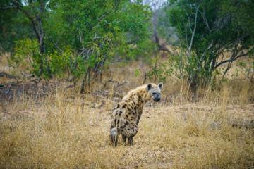 Garden Poster Hyena hyena in kruger national park, mpumalanga, south africa 19