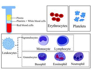 Infographics in biology on the immune system.Erythrocyte, platelet, leukocyte, monocyte, eosinophil, basophil, neutrophil, lymphocyte.Blood cells in medicine.