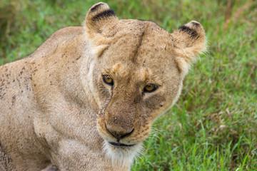 Eine Löwin im Ngorongoro-Krater, Tansania