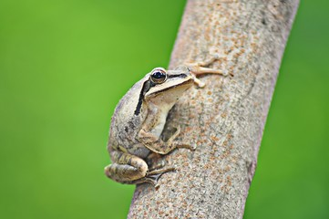 Foto op Canvas Kikker A frog sitting on a tree is looking somewhere