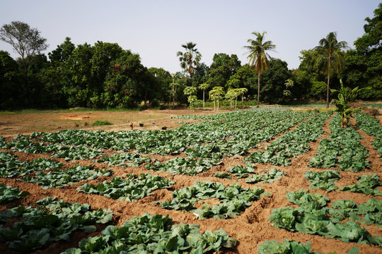 Close Up Picture Of A Cabbage Field In A West African Village Outskirt