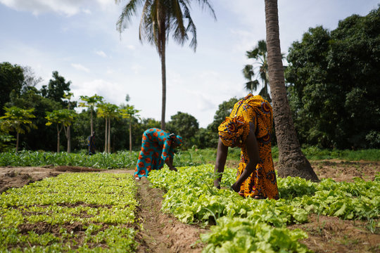 Two Women Farmers Weeding A Salad Garden In A West African Rural Community
