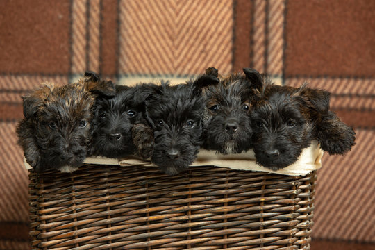 Scottish terrier puppies posing. Cute black doggies or pets playing in the basket. Looks cute. Comfortable. Studio photoshot. Concept of holidays, festive time, winter mood. Negative space.