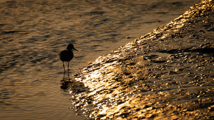 Wall Mural - UK Wild Red Shank hunting in the evening sunset