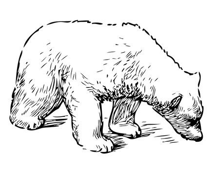 Sketch of sniffing polar bear cub