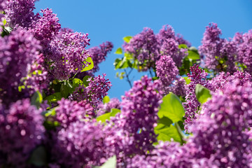 Foto op Aluminium Lilac lilac flowers in spring
