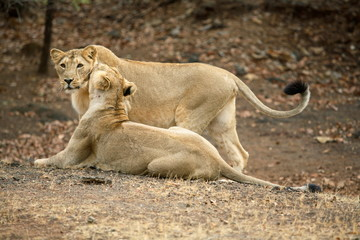 Female and cub Lion, Panthera leo persica, in playful action at Gir National Park, Gujrat, India.