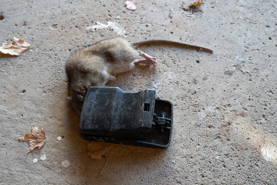 ratt caught in trap is now dead and must be dispossed of