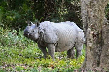 Male one Horned Rhino, Rhinoceros unicornis at Kaziranga National Park, Assam, India.