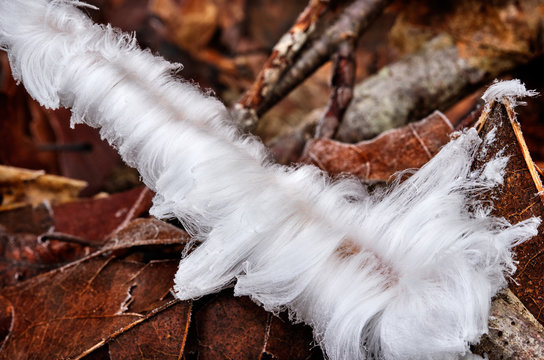 Magical looking hair ice on a rotting tree branch on fallen leaf litter