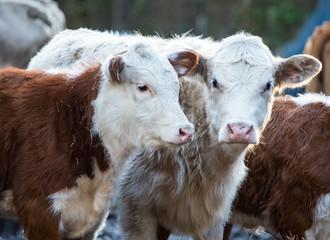 Cattle in Rural NC