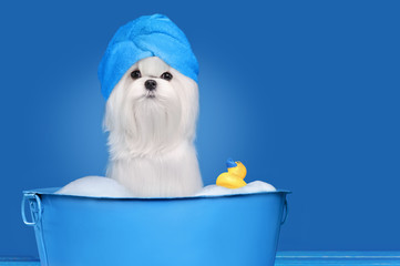 Maltese dog having bathing in a basin against blue background