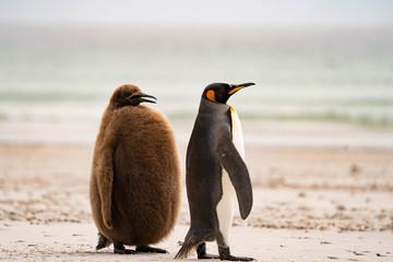 Foto auf Acrylglas Pinguin ペンギン サウンダース島