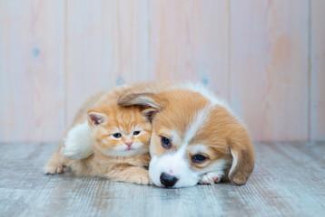 Pembroke Welsh Corgi puppy and kitten together
