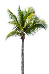 Fototapeten Palms coconut palm tree isolated on white background