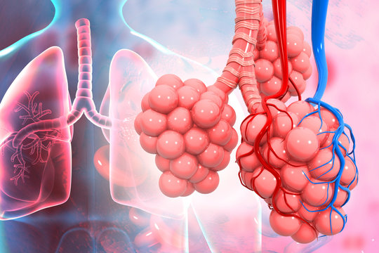 Lungs alveoli on medical background. 3d illustration